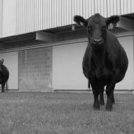 Penn State Cows 2