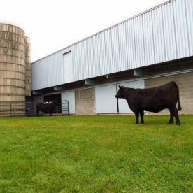 Penn State Cows